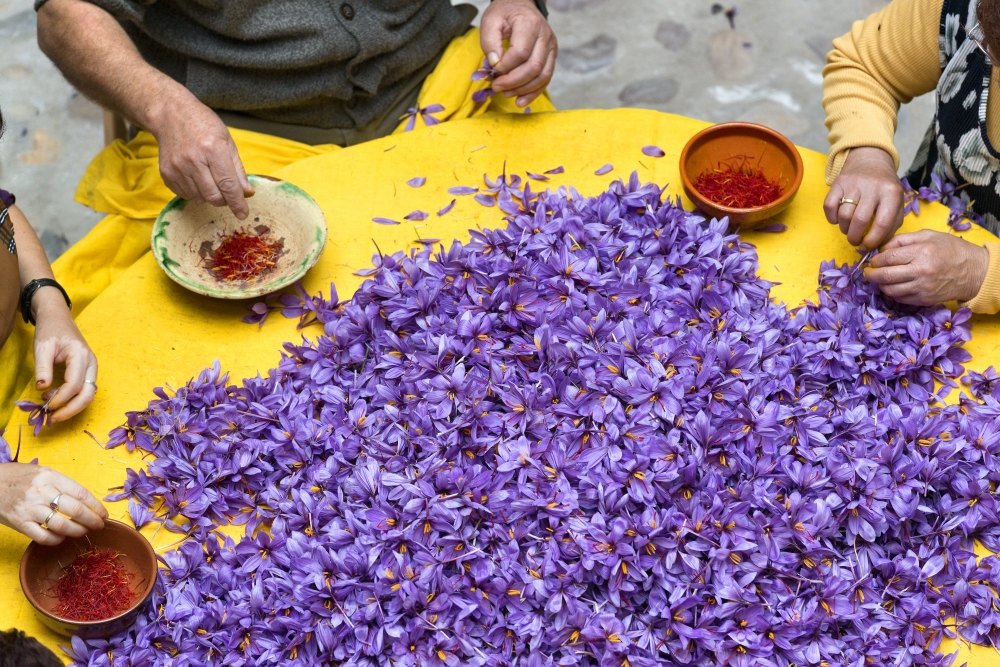 saffron production